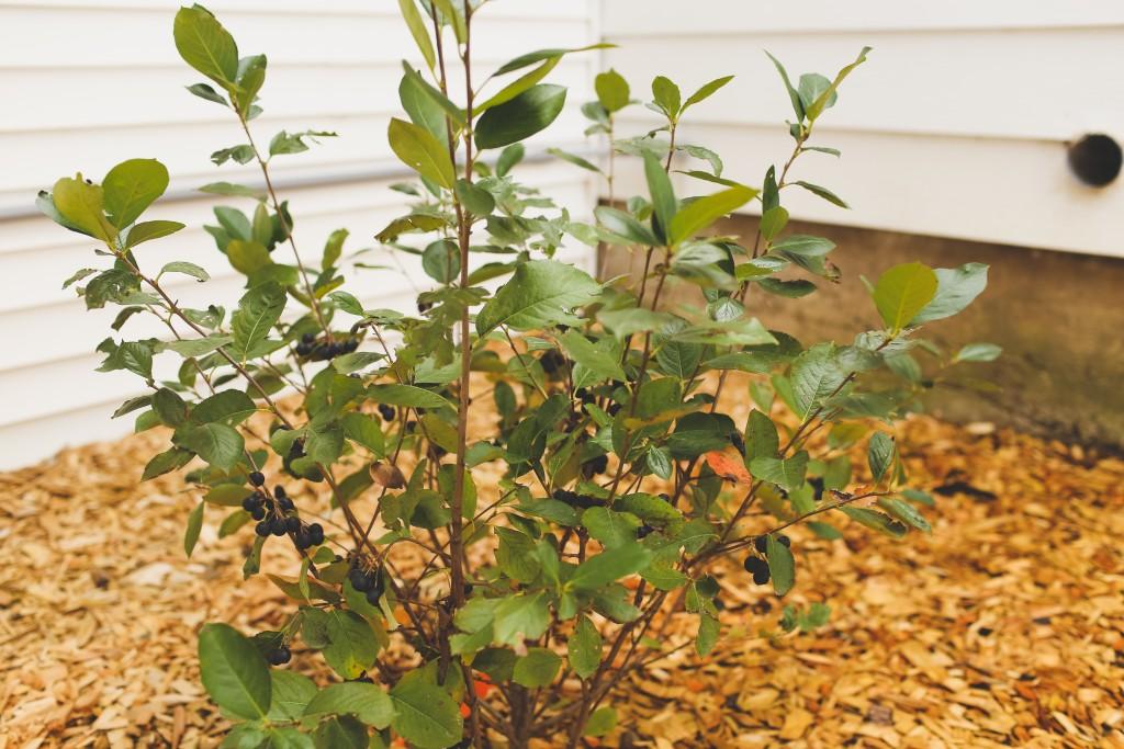 Glossy black chokeberry in the fall season along the farmhouse.