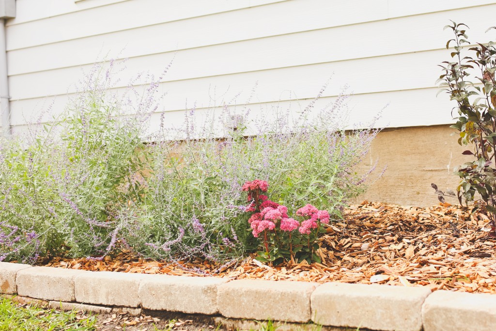 Russian sage & Autumn Joy Sedum in farmhouse landscaping.