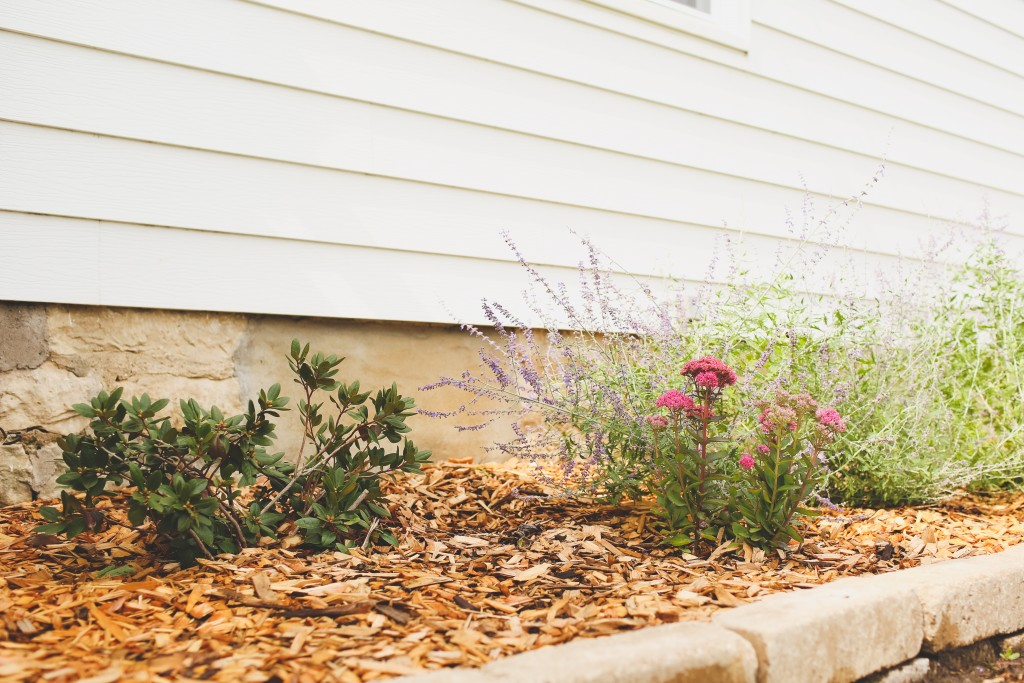 Rhododendron P.J.M., Autumn Joy Sedum, and Russian Sage for the farmhouse landscaping.