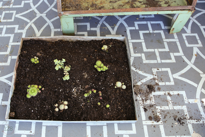Old metal seed tray is repurposed for succulents in a rust greenhouse.  From Homestead 128.